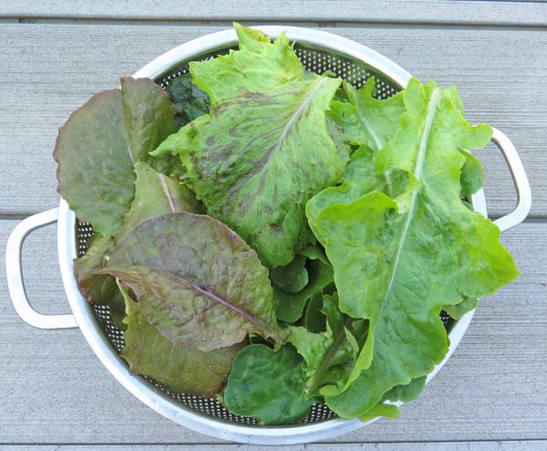mixed lettuce harvest
