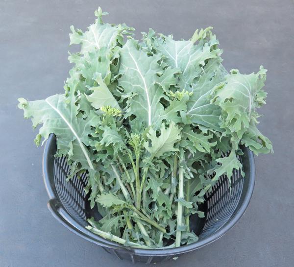 harvest of Western Front kale