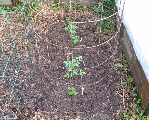 currant tomato plants