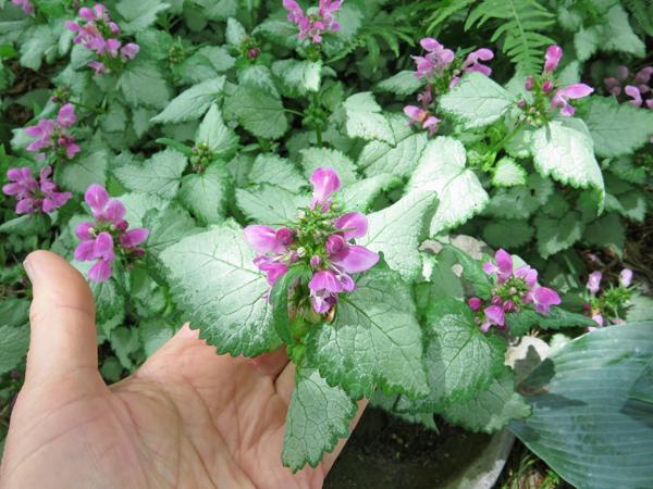 Lamium blooming