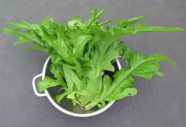 Radichetta lettuce