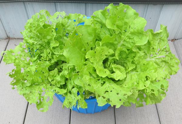 Tokyo Bekana cabbage