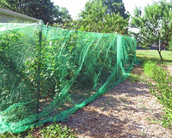 bird netting around blackberries