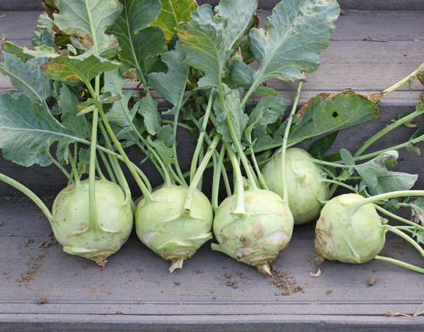 harvest of Kossak kohlrabies