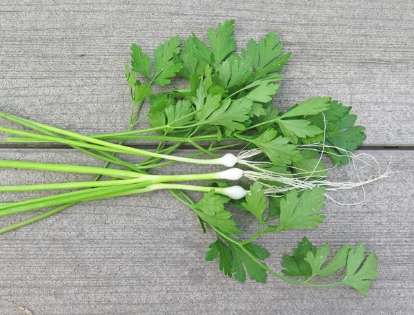 Flagpole scallions and Splendid parsley
