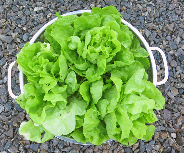 Three Heart lettuce