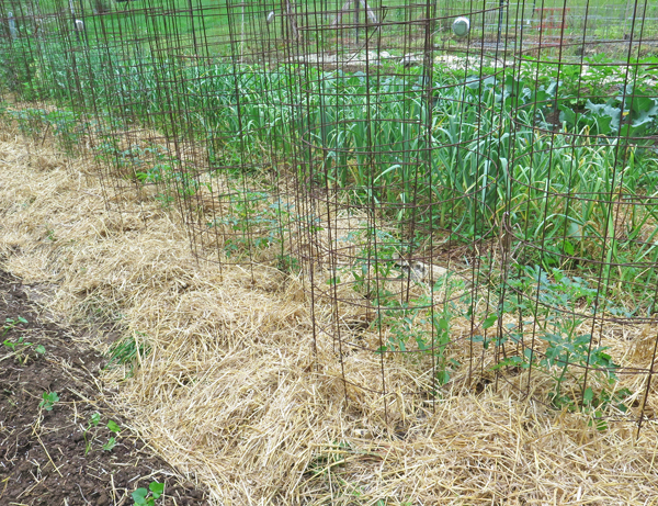 tomatoes after mulching