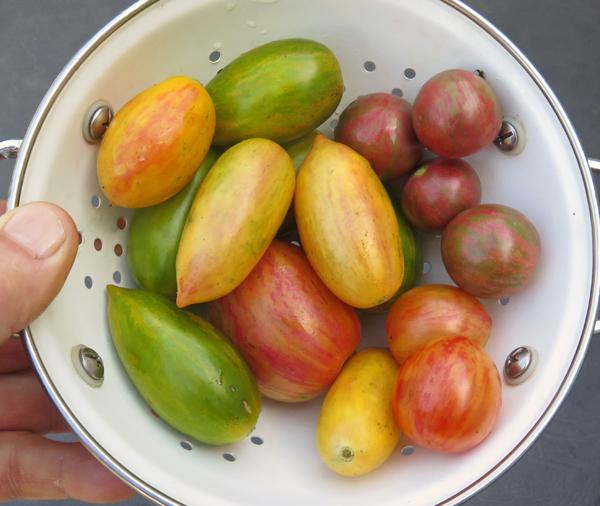 Artisan Seeds tomatoes