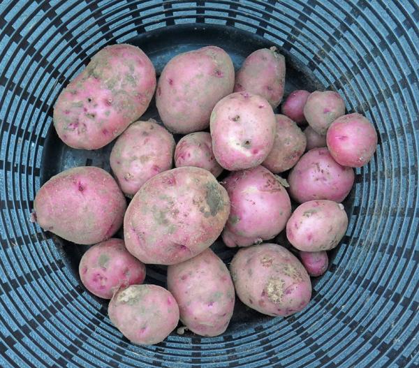 Red Lasoda potatoes