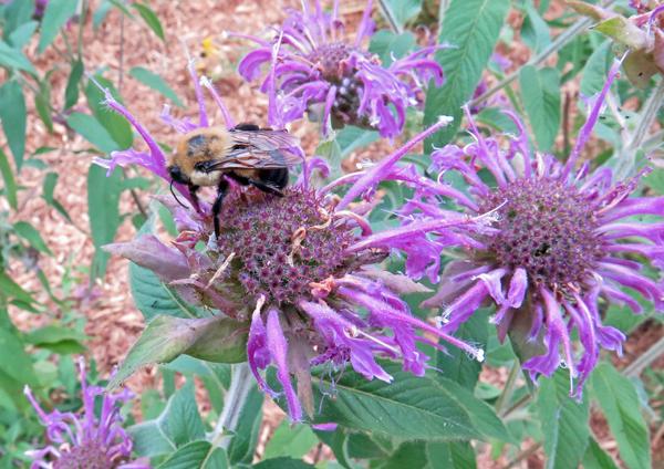 bumblebee on lavender bee balm