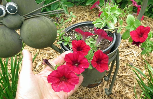 petunia in cat planter