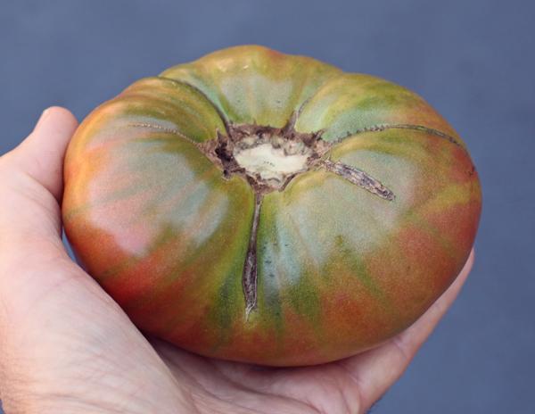 Captain Lucky tomato