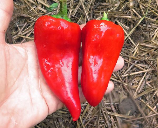 Friggitello peppers
