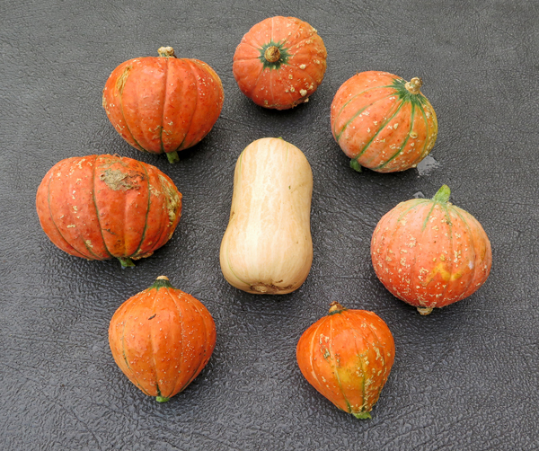 Gold Nugget and Butterscotch winter squashes