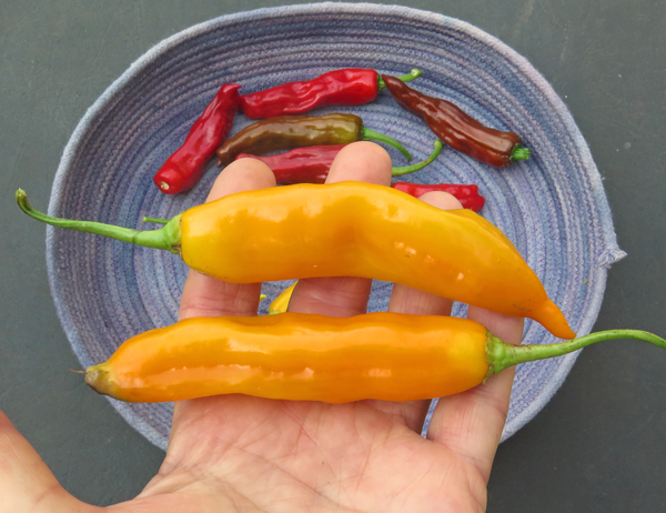 Aji Golden peppers