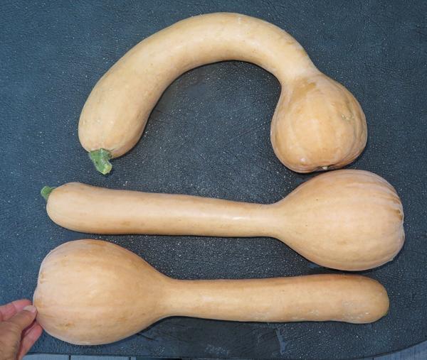 harvest of neck pumpkins