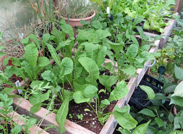 Arugula in salad boxes