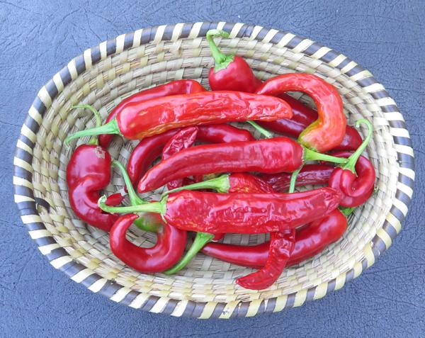 Guajillo peppers