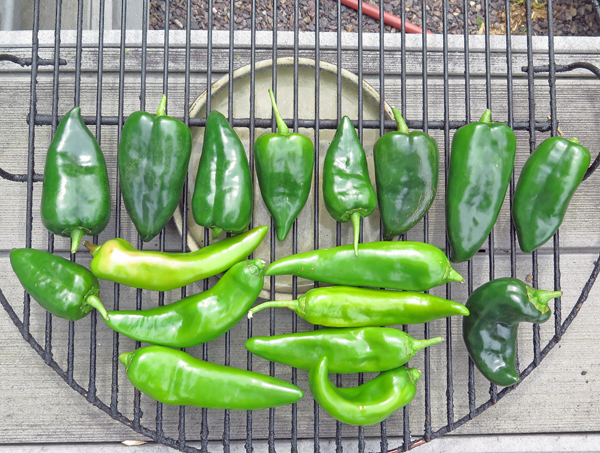 green Anaheim and Poblano peppers for smoking