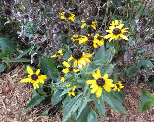 Black-Eyed Susan blooming