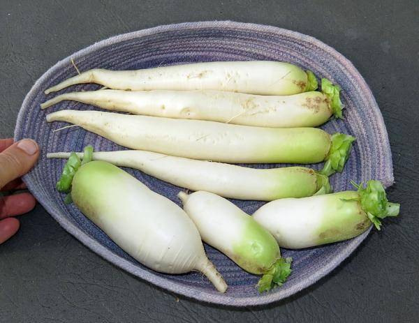 Miyashige and Alpine daikon radishes