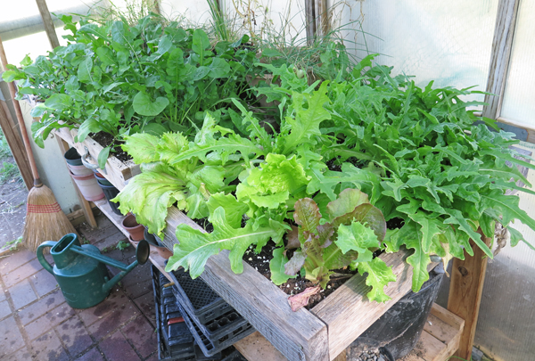 salad boxes with lettuce and arugula