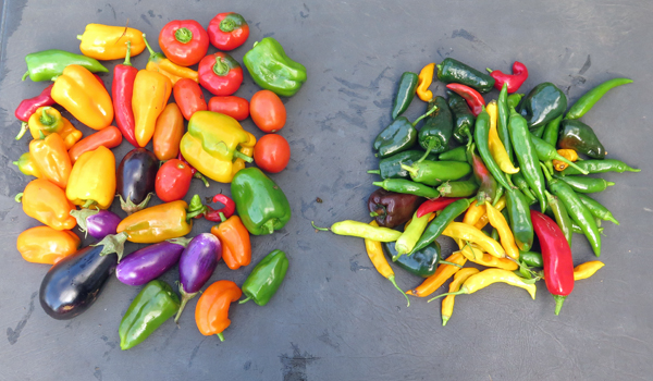 last harvest of peppers and eggplant