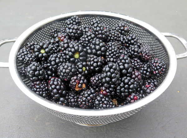 Natchez and Apache blackberries