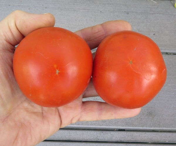 Garden Treasure tomatoes