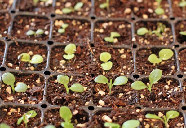 thinned lettuce seedlings