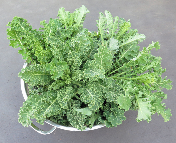 harvest of Meadowlark kale