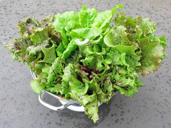 overwintered lettuce