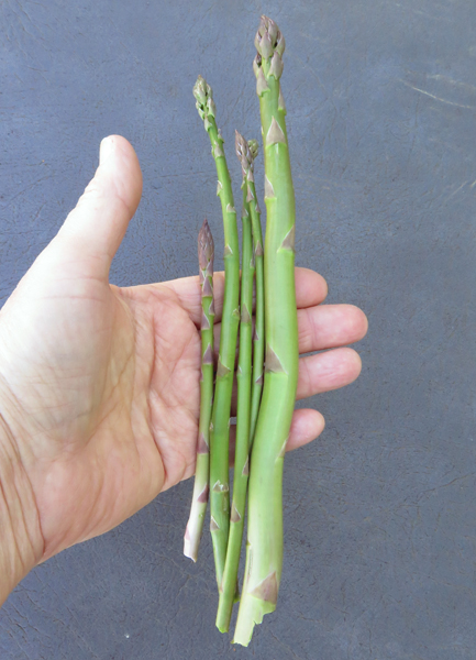second 2017  harvest of asparagus