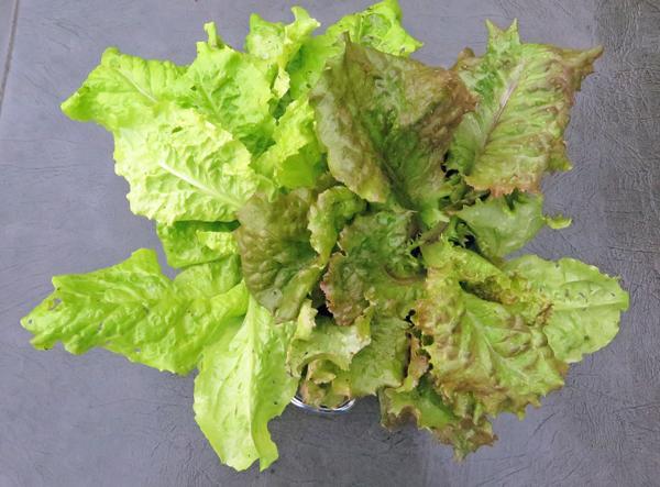 harvest of leaf lettuce