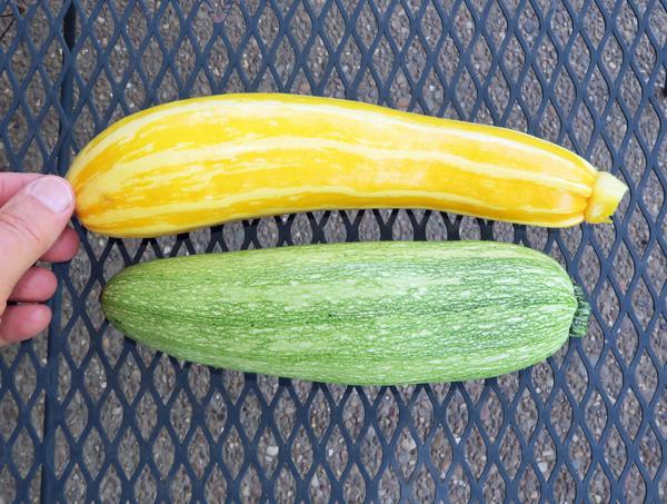 Sunstripe and Clarimore zucchini