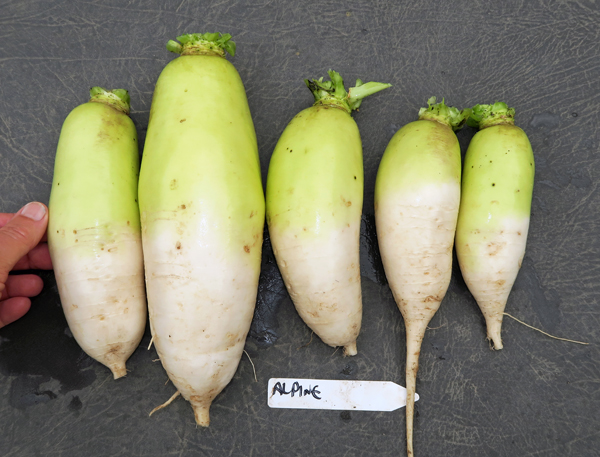 Alpine radishes