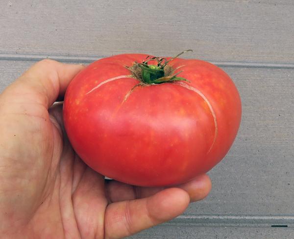 Big Brandy tomato