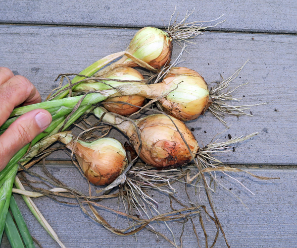 young Candy onions