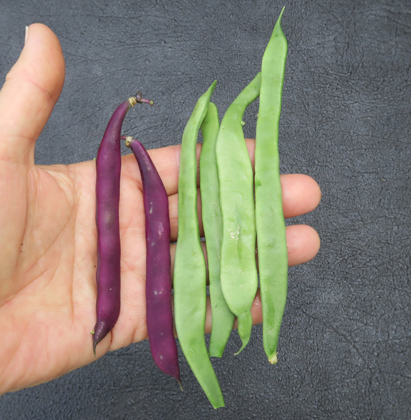 first pole beans