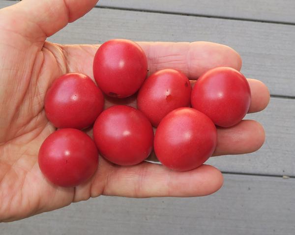 Sunpeach tomatoes