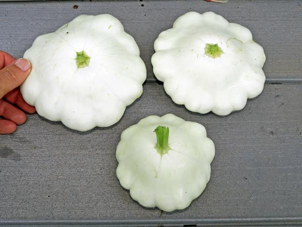 white pattypan squash