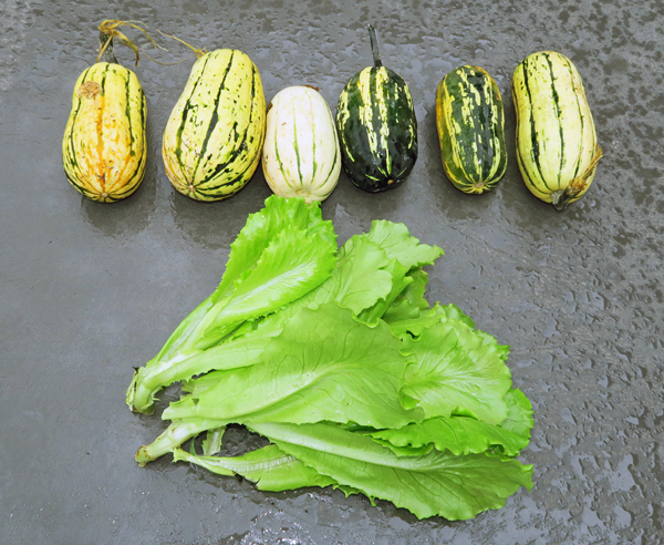Bush Delicata and summer lettuce