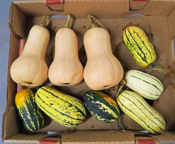 Metro butternut and Bush Delicata squashes