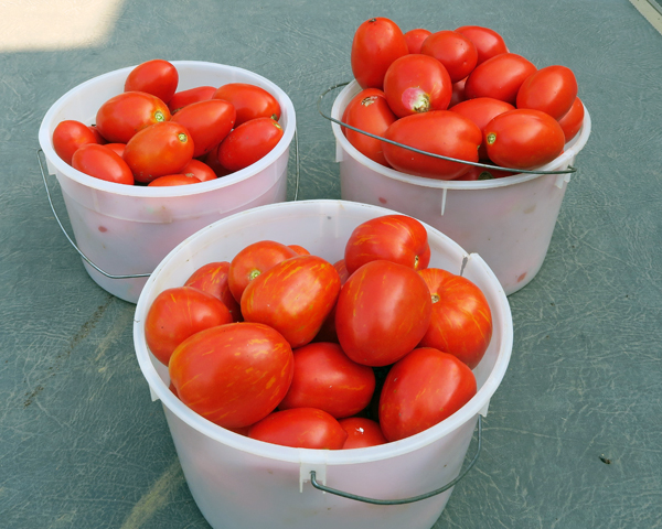 harvest of paste tomatoes