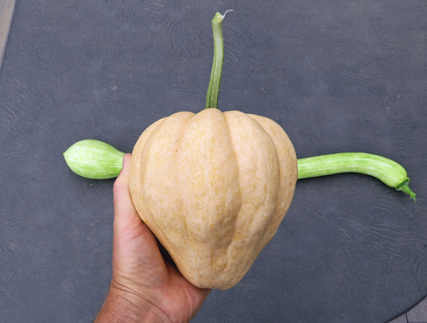 Thelma Sanders Sweet Potato squash
