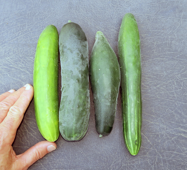 Socrates, Corinto and Tasty Jade cucumbers