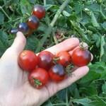 Midnight Snack tomatoes