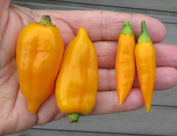 rogue peppers(L) with Baby Aji Amarillo(R)