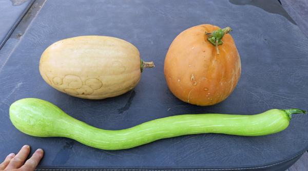 Dickinson pumpkins with tromboncino squash