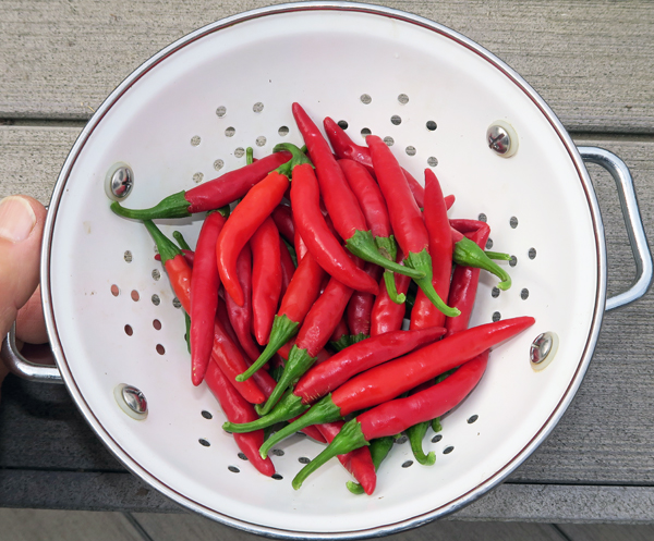 Korean Hot peppers